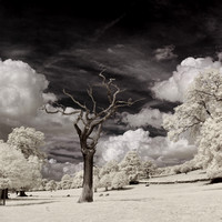Dead Tree in Infrared